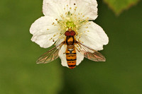 Hoverfly Species-H