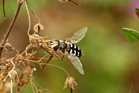 Hoverfly Species-C
