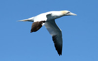 Northern Gannet (Adult)