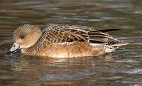 American Wigeon (Duck)