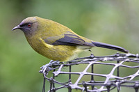 Bellbird (Male)