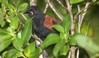 Saddleback (North Island-Adult)