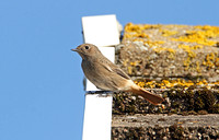 Balck Redstart (Female)
