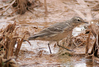 American Buff-bellied Pipit (Summer)