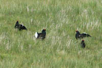Black Grouse (Males)
