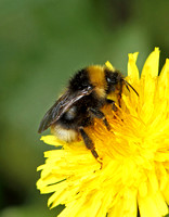 Buff-Tailed Bumble Bee (Bombus terrestris)