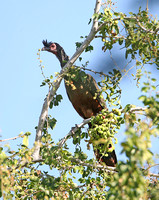 Rufous-bellied Chachalaca