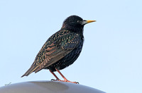 European Starling (Summer)