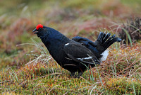 Black Grouse (Male)