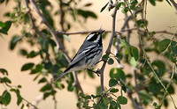 Black-throated Grey Warbler (Male)