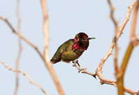 Annas Hummingbird (Male)