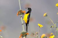 Black-vented Oriole (Male)