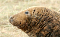 Grey Seal (Male)