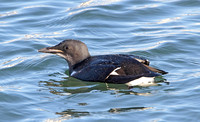 Brunnichs Guillemot (Winter)