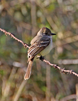 Ash-throated Flycathcher