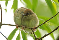 Blackcap (Immatures)