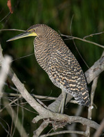 Bare-throated Tiger-heron (Juvenile)