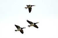 Barnacle Goose (Adults)