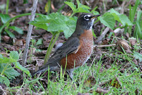 American Robin (1st Winter Male)