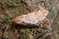 March Moth (Male)