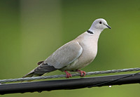 Collared Dove (Adult)