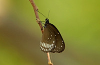 Butterfly-Common Indian Crow
