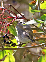 Barred Warbler (1st Winter)