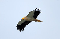 Egyptian Vulture (Adult)