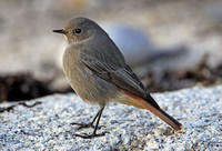 Black Redstart (1st Winter Male)