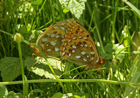 Dark Green Fritillary (Pair)