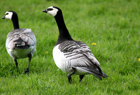 Barnacle Goose (Adult)