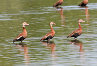 Black-bellied Whistling Duck (Adults)