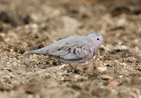 Common Ground-Dove (Male)