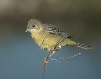 Black-headed Bunting (Female)