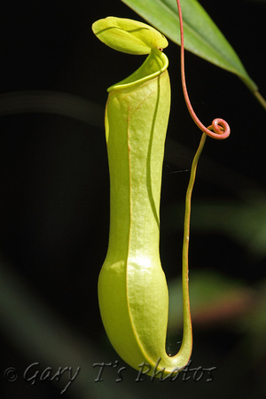 Pitcher Plant (Nepenthes species ?????)