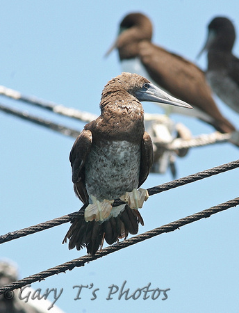 Brown Booby (Sub-adult)