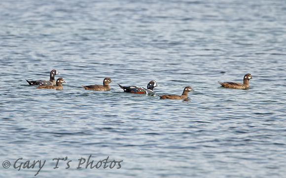 Harlequin Duck (Flock)