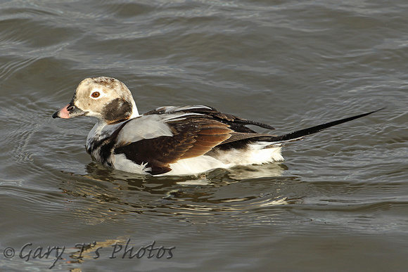 Long-tailed Duck (1st Winter Drake)