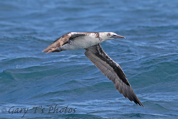 Northern Gannet (3rd Summer)