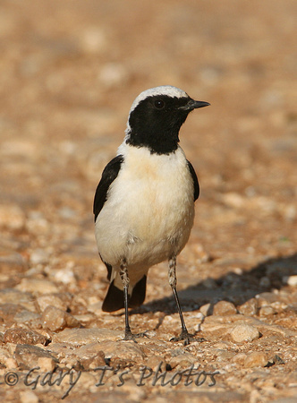 Black-eared Wheatear (Male-Eastern form melanoleuca))