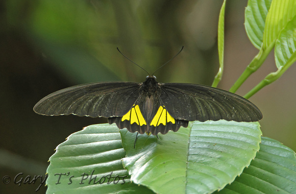 Butterfly-Sri Lanka Birdwing (Male)