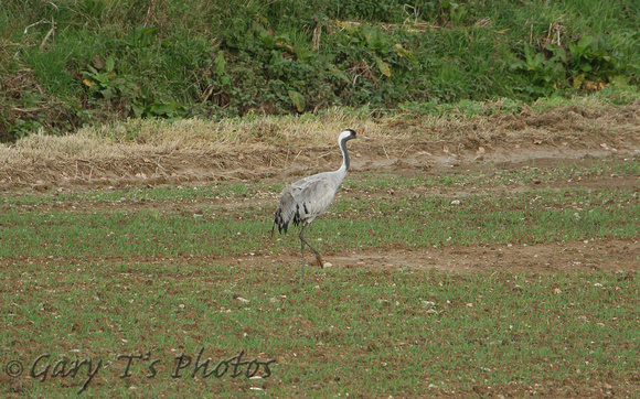 Common Crane (Adult)
