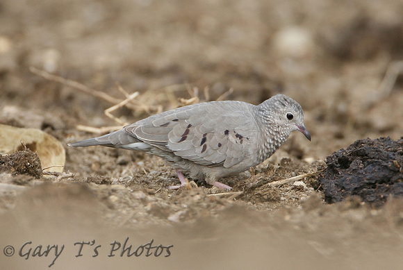 Common Ground-Dove (Female)