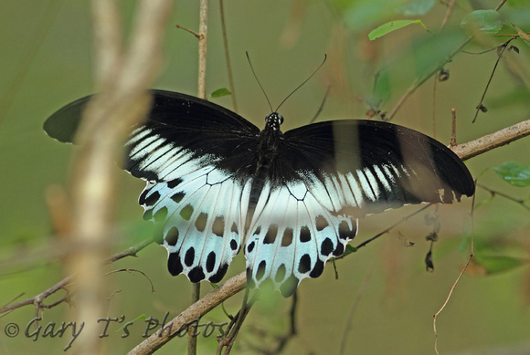 Butterfly-Blue Mormon