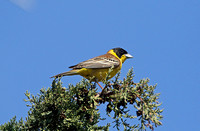 Black-headed Bunting (Male)