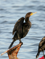 Double-crested Cormorant (Winter)