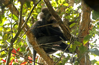 Purple-faced Leaf Monkey (Female & Immature)