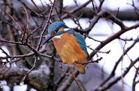 Common Kingfisher (Male)