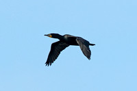 Double-crested Cormorant (Adult Summer)