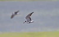 Black Tern (Adult Moulting)